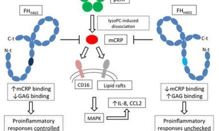Descubierto el papel de una proteína inflamatoria en degeneración macular