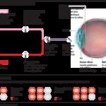 Alerta: las mafias y los indeseables también operan en la investigación con células madre