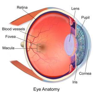 anatomía del ojo. Edad de riesgo y síntomas de las maculopatías