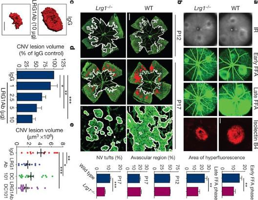 Identifican la proteína responsable de la angiogénesis en procesos patológicos