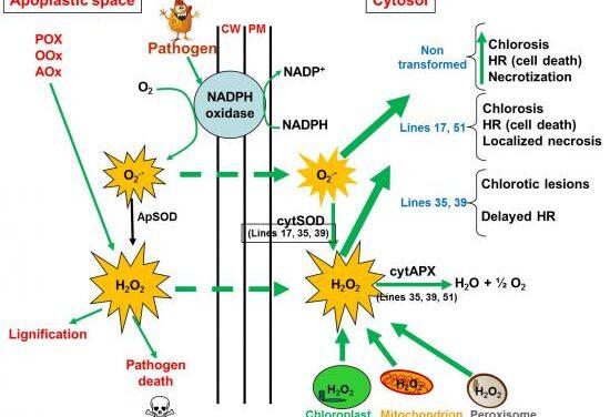 Estrés oxidativo y retraso del envejecimiento