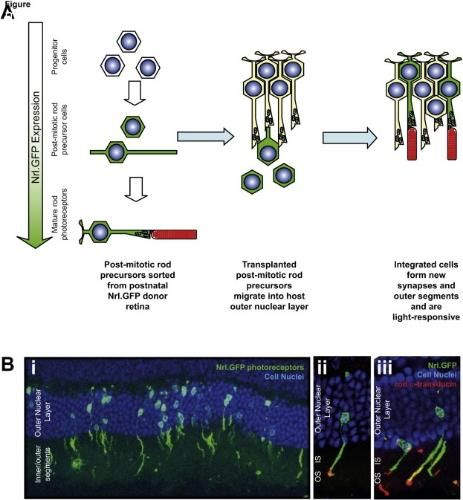 Avances en la reparación de la retina