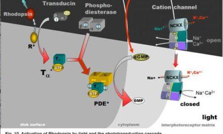 Conservación de fotorreceptores y hormona tiroidea