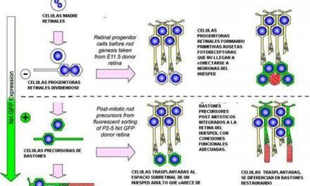 Diferenciación de células madre embrionarias a fotorreceptores