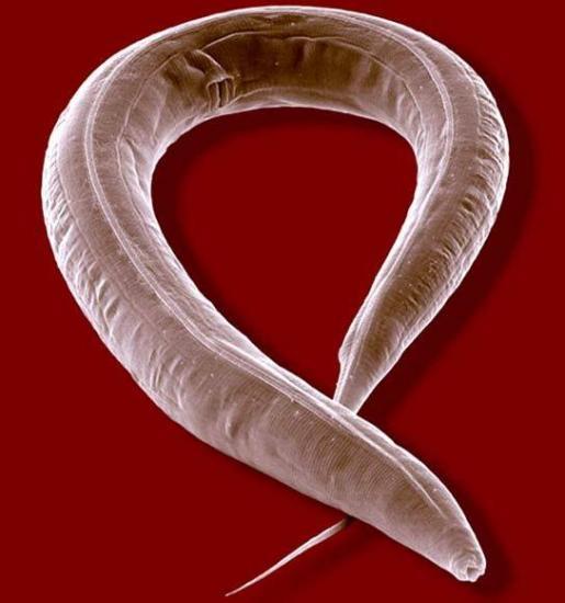 En el IDIBELL crean modelo de gusano para investigar Retinosis Pigmentaria