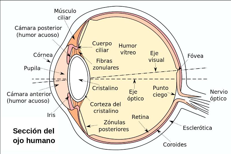¿Cómo funcionan tus ojos?