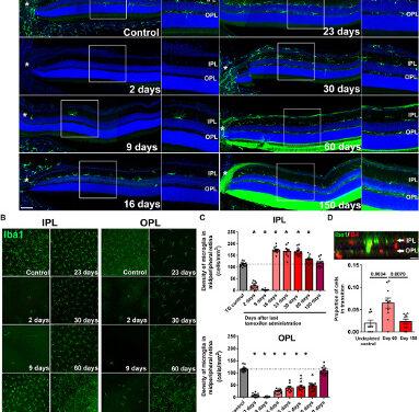 Células inmunológicas de la retina pueden regenerarse espontáneamente