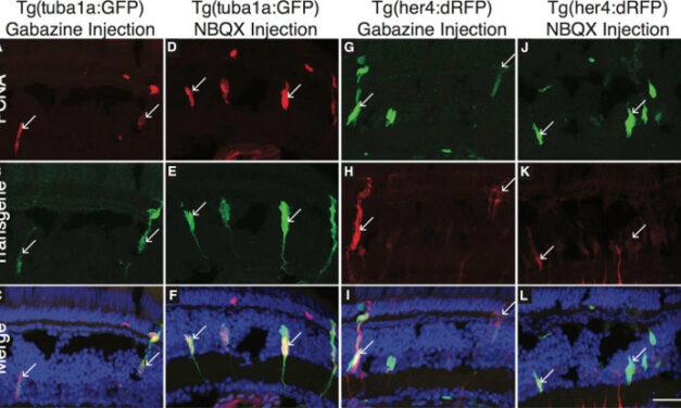 Regeneración de la retina en el pez cebra