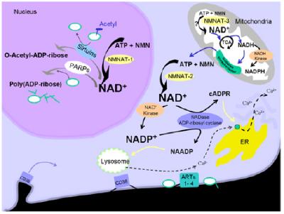 Gen NMNAT1