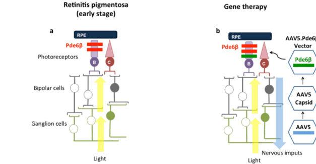 Terapia génica para el gen PDE6β