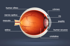 anatomia ojo humano