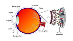 ojo humano y fotorreceptores