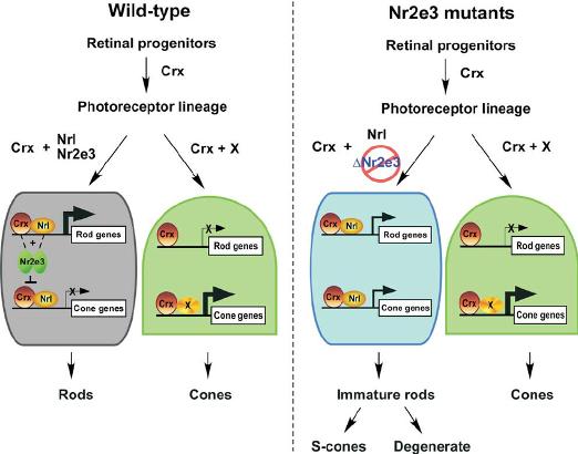 Gen NR2E3