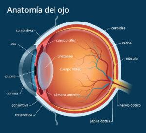 anatomía de un ojo humano normal