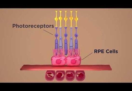Recuperan fotorreceptores y previenen la ceguera en modelos animales con DMAE
