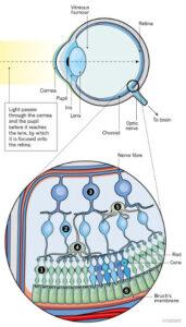 Circuito celular