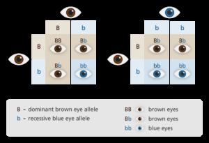 Fenotipo ojos
