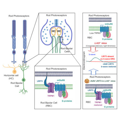Terapia génica para restaurar función visual de personas con ceguera nocturna