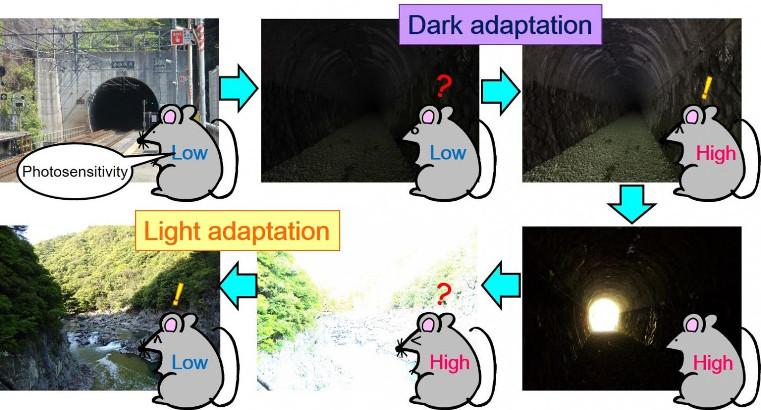 Investigadores descubren un interruptor de luz molecular en células fotorreceptoras