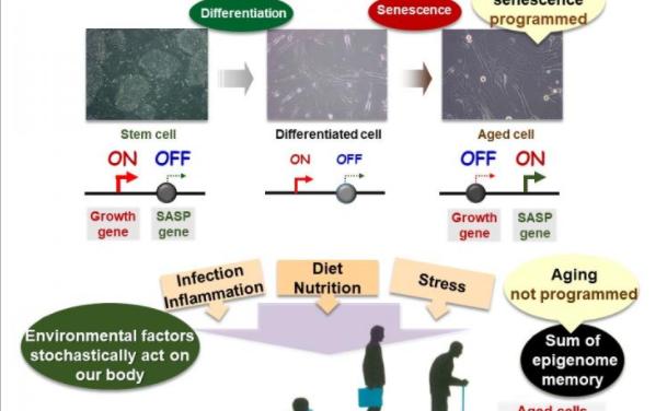 Las variaciones en las células envejecidas pueden controlar la salud y la aparición de enfermedades relacionadas con la edad