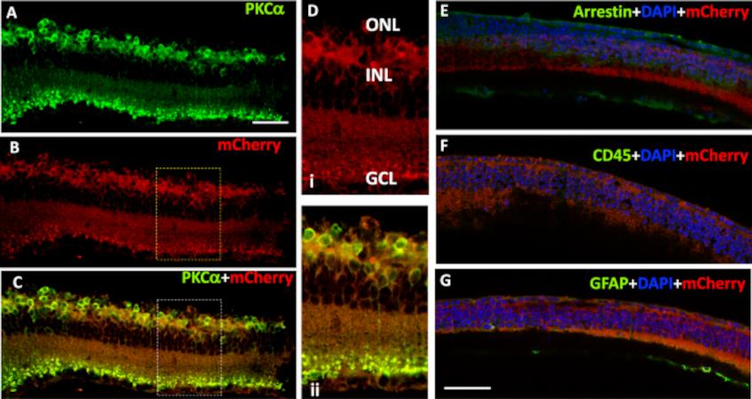 MC01 una nueva proteína sensible a la luz devuelve la visión a ratones ciegos