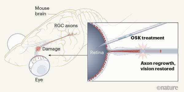 Restaurando la visión en ratones