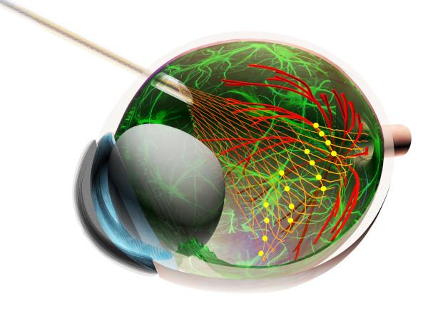 Herramienta para comprender cómo funcionan las células retinianas