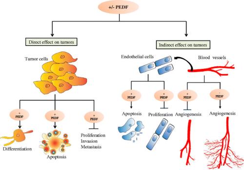 El factor derivado del epitelio pigmentario (PEDF) podría tener un papel en el tratamiento de las enfermedades oculares
